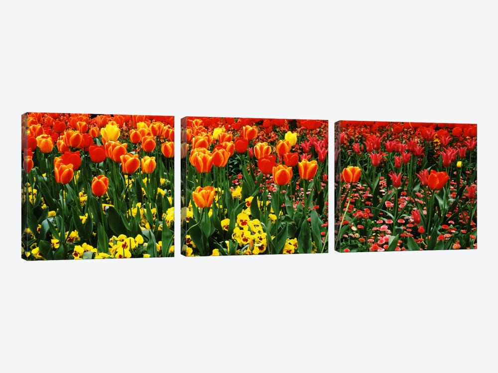 Tulips in a field, St. James's Park, City Of Westminster, London, England by Panoramic Images 3-piece Canvas Wall Art