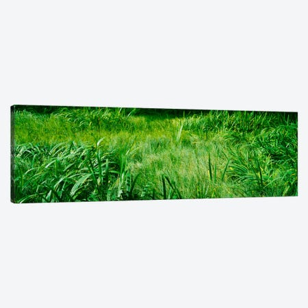 Grass on a marshland, England Canvas Print #PIM365} by Panoramic Images Canvas Art