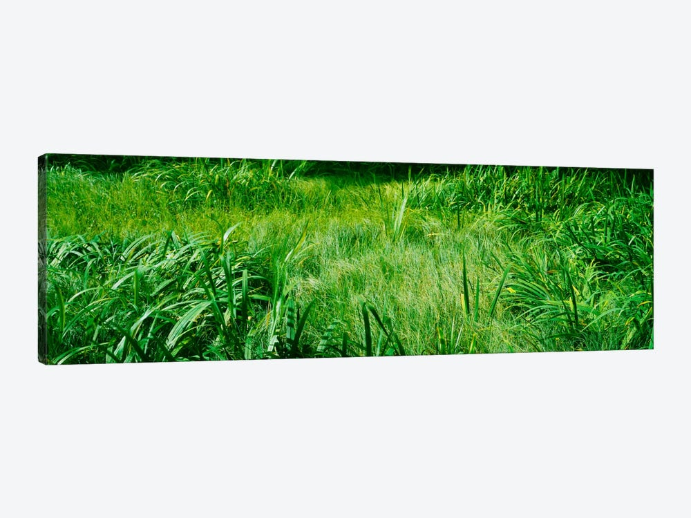 Grass on a marshland, England by Panoramic Images 1-piece Canvas Print