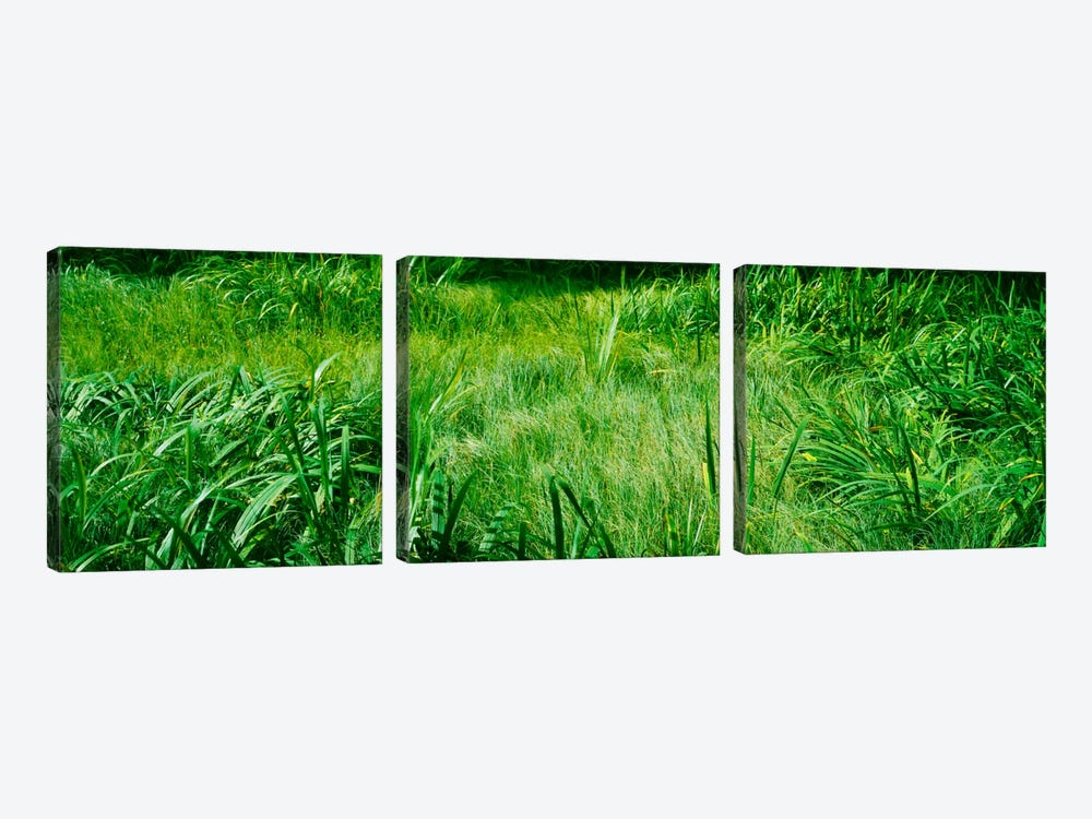 Grass on a marshland, England by Panoramic Images 3-piece Canvas Art Print
