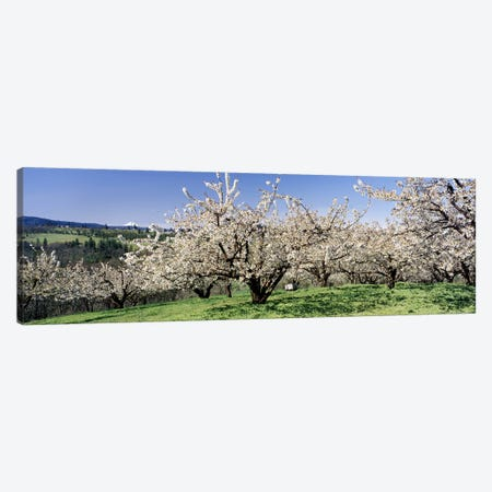 Cherry Blossoms In Bloom, Columbia River Gorge, Oregon, USA Canvas Print #PIM3753} by Panoramic Images Canvas Art
