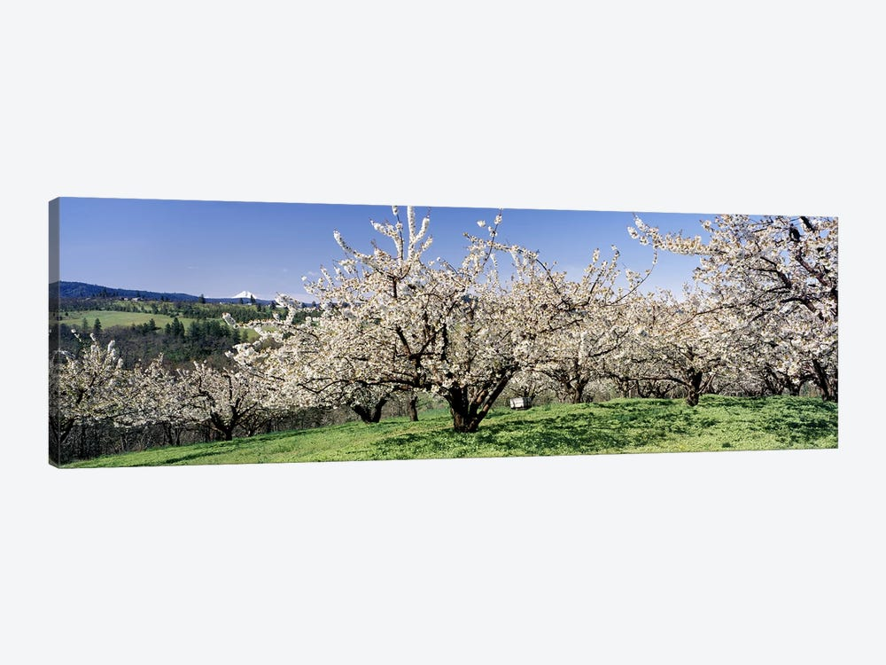 Cherry Blossoms In Bloom, Columbia River Gorge, Oregon, USA by Panoramic Images 1-piece Canvas Art Print
