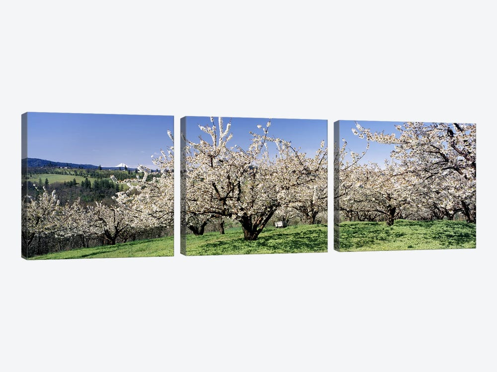Cherry Blossoms In Bloom, Columbia River Gorge, Oregon, USA by Panoramic Images 3-piece Canvas Art Print