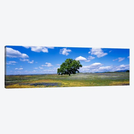 Lone Oak In A Field Of Wildflowers, Table Mountain Plateaus, California, USA Canvas Print #PIM38} by Panoramic Images Canvas Print