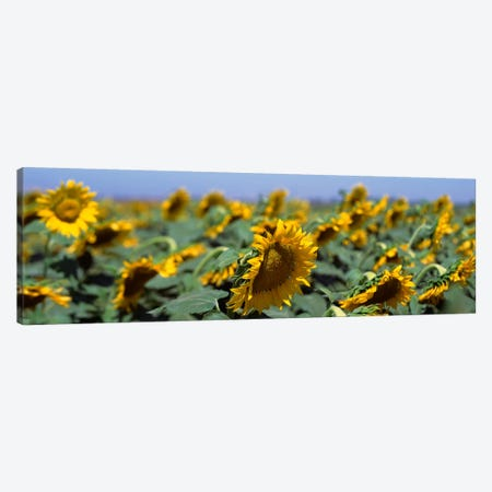 USA, California, Central Valley, Field of sunflowers Canvas Print #PIM393} by Panoramic Images Canvas Art