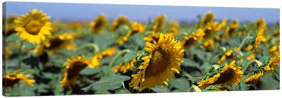 USA, California, Central Valley, Field of sunflowers Canvas Print #PIM393