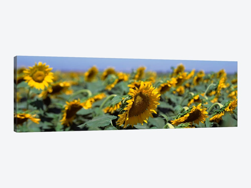 USA, California, Central Valley, Field of sunflowers by Panoramic Images 1-piece Canvas Wall Art