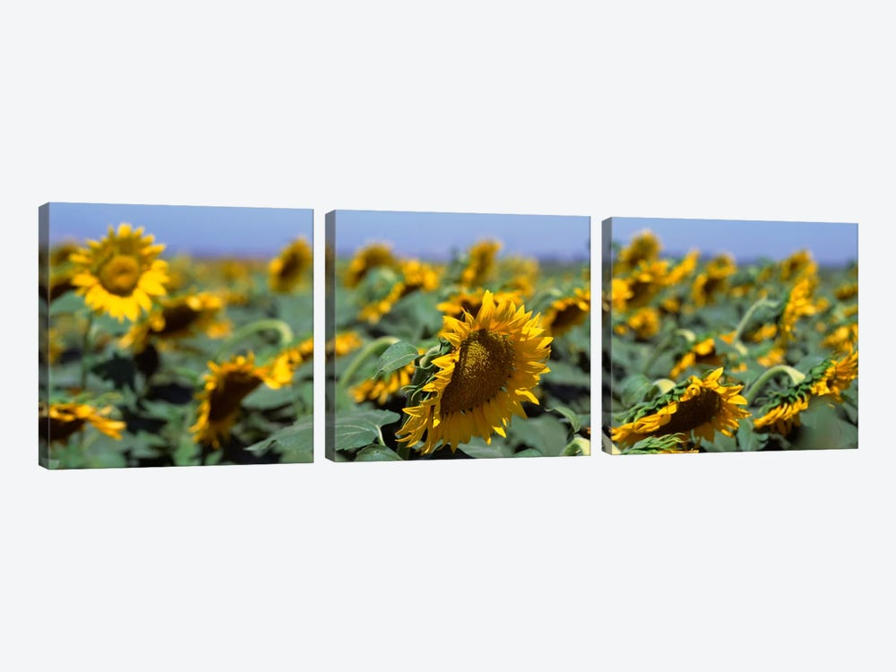 USA, California, Central Valley, Field of sunflowers by Panoramic Images 3-piece Canvas Wall Art