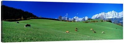 Cattle Graze in Alps Wilder Kaiser Going Austria Canvas Art Print