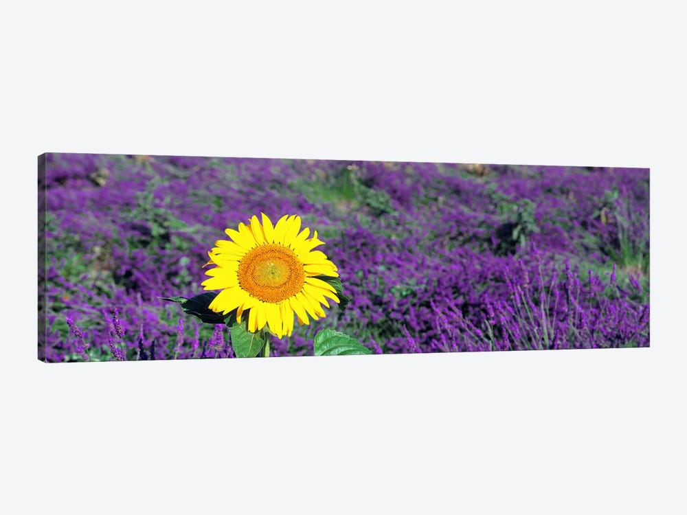 Lone sunflower in Lavender FieldFrance by Panoramic Images 1-piece Canvas Wall Art