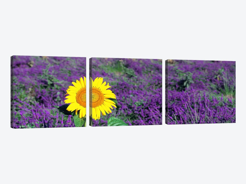 Lone sunflower in Lavender FieldFrance by Panoramic Images 3-piece Canvas Wall Art