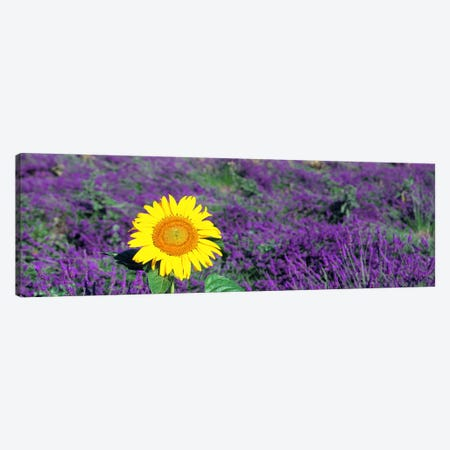 Lone sunflower in Lavender FieldFrance Canvas Print #PIM4013} by Panoramic Images Canvas Art
