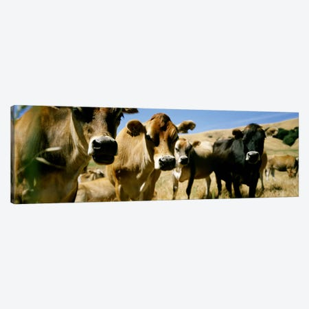 Close Up of CowsCalifornia, USA Canvas Print #PIM4062} by Panoramic Images Art Print