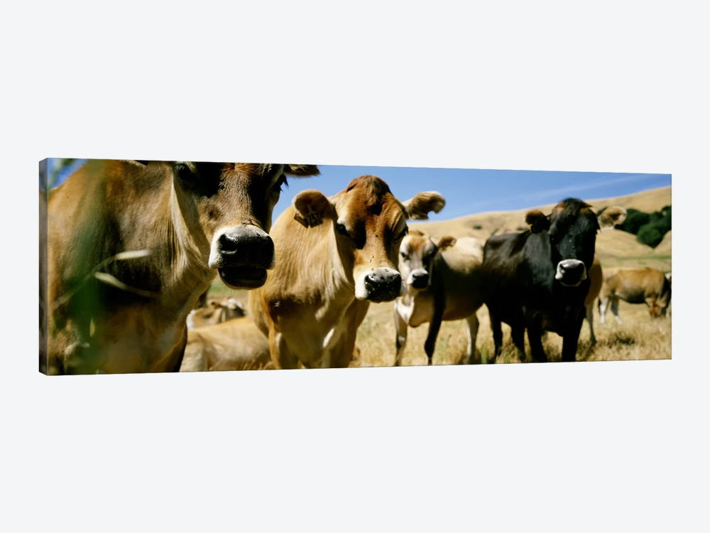 Close Up of CowsCalifornia, USA by Panoramic Images 1-piece Canvas Art
