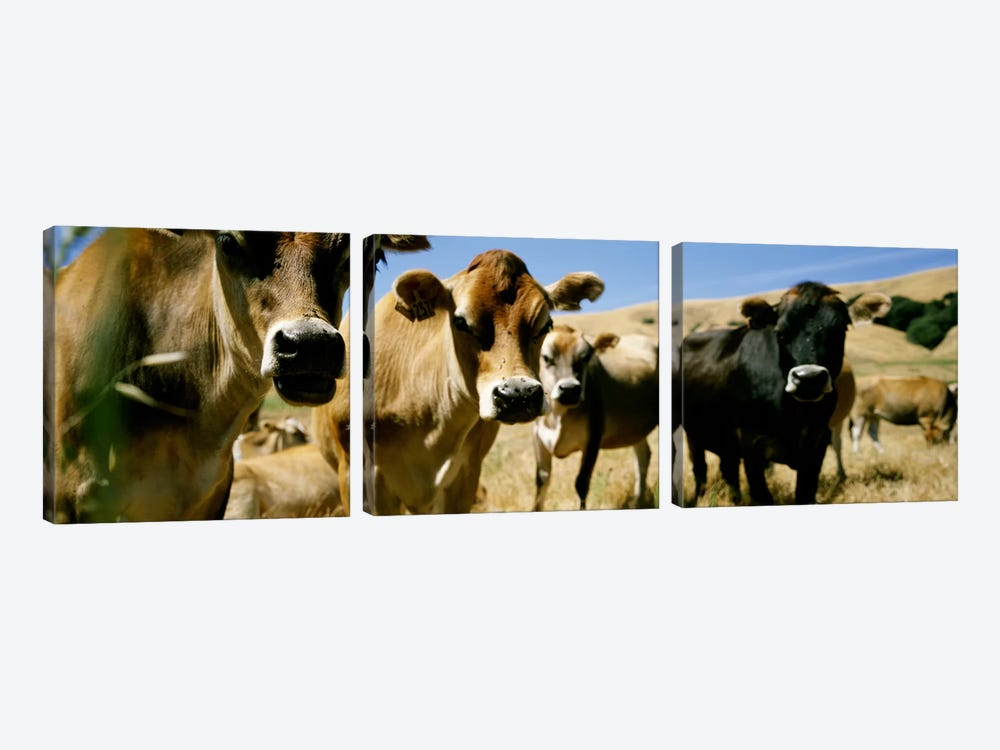 Close Up of CowsCalifornia, USA by Panoramic Images 3-piece Canvas Art