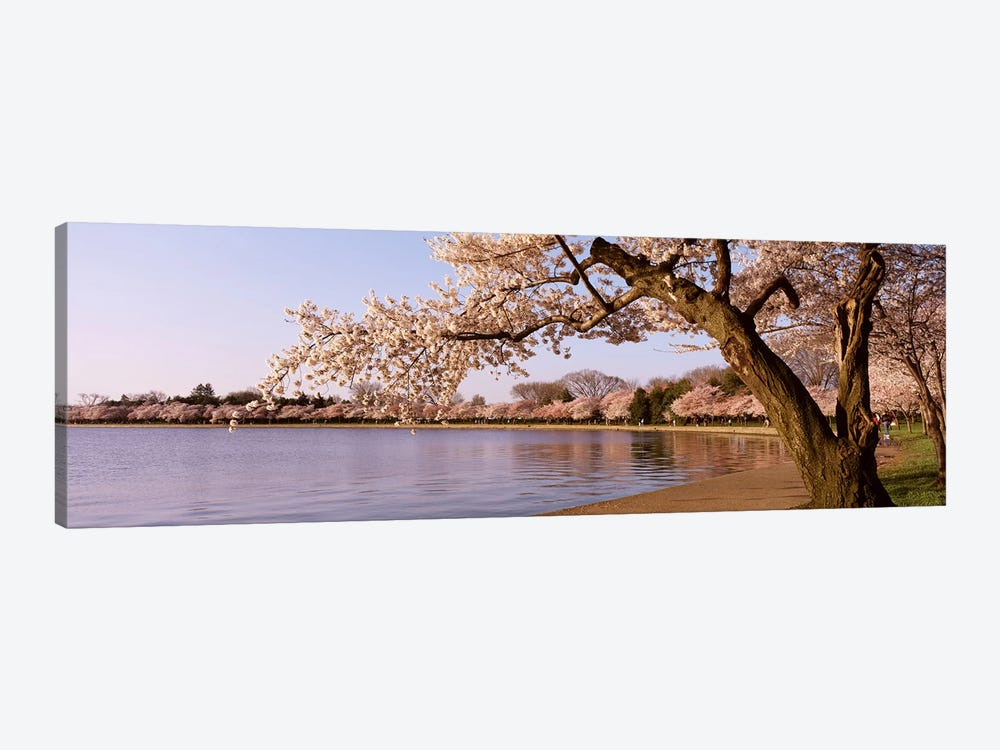Cherry blossom tree along a lake, Potomac Park, Washington DC, USA by Panoramic Images 1-piece Canvas Print