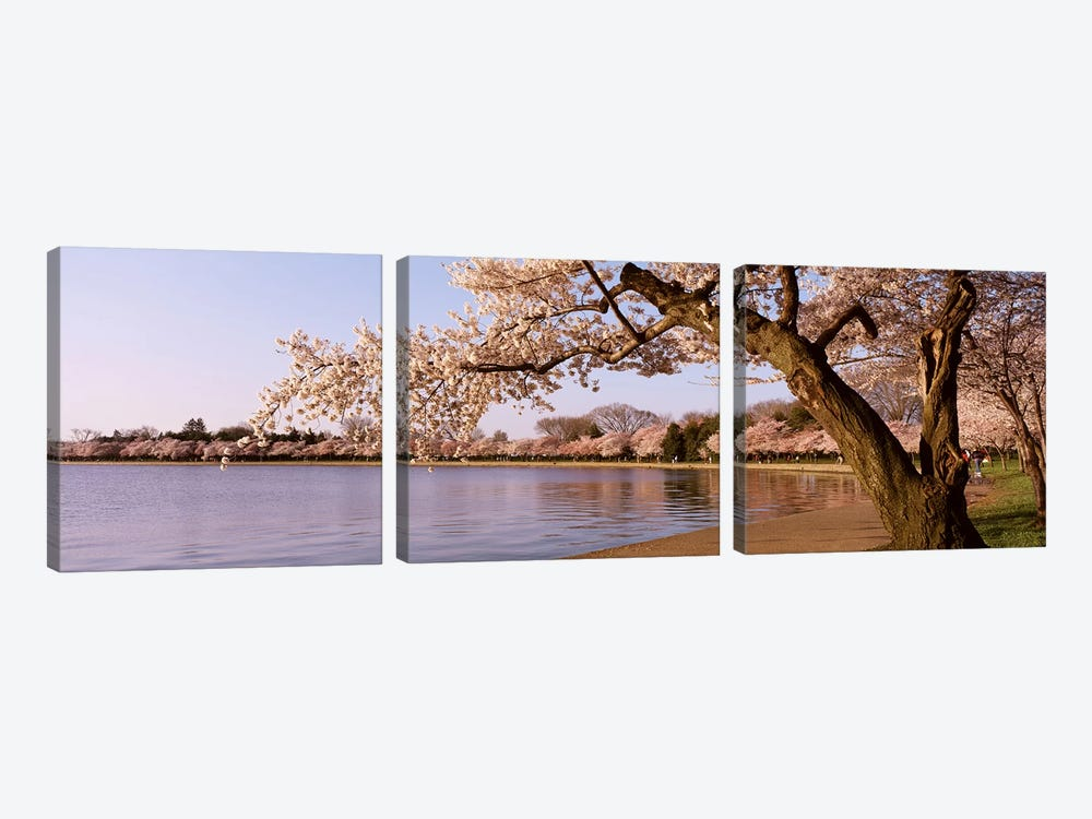 Cherry blossom tree along a lake, Potomac Park, Washington DC, USA by Panoramic Images 3-piece Canvas Art Print