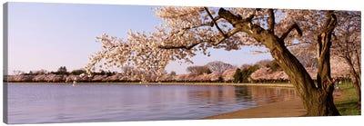 Cherry blossom tree along a lake, Potomac Park, Washington DC, USA Canvas Art Print