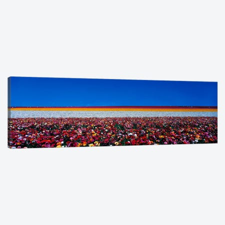 Ranunculus flowers Carlsbad Ranch Carlsbad CA USA 3-Piece Canvas #PIM407} by Panoramic Images Canvas Print