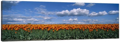 Tulip Field, Skagit Valley, Washington, USA Canvas Print #PIM4083