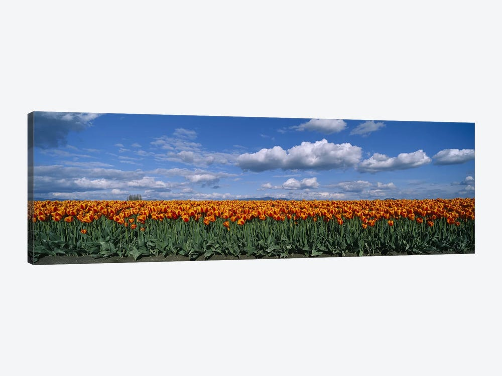 Tulip Field, Skagit Valley, Washington, USA by Panoramic Images 1-piece Art Print