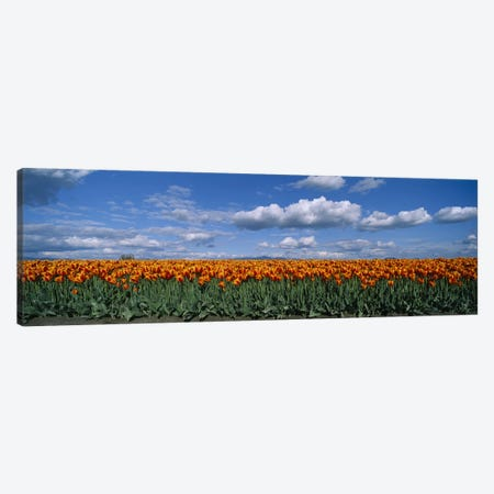 Tulip Field, Skagit Valley, Washington, USA Canvas Print #PIM4083} by Panoramic Images Canvas Art Print