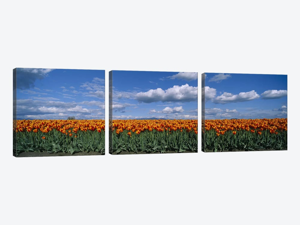 Tulip Field, Skagit Valley, Washington, USA by Panoramic Images 3-piece Art Print