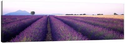 Lavender Field, Valensole, Provence-Alpes-Cote d'Azur, France Canvas Art Print