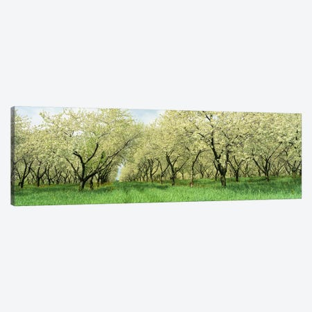 Rows of Cherry Tress In An OrchardMinnesota, USA Canvas Print #PIM4141} by Panoramic Images Canvas Wall Art