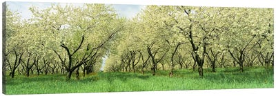Rows of Cherry Tress In An OrchardMinnesota, USA Canvas Art Print