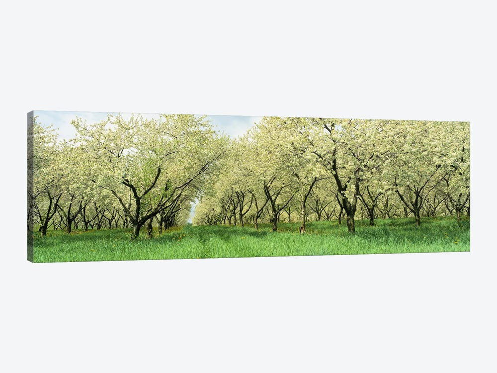 Rows of Cherry Tress In An OrchardMinnesota, USA by Panoramic Images 1-piece Canvas Wall Art