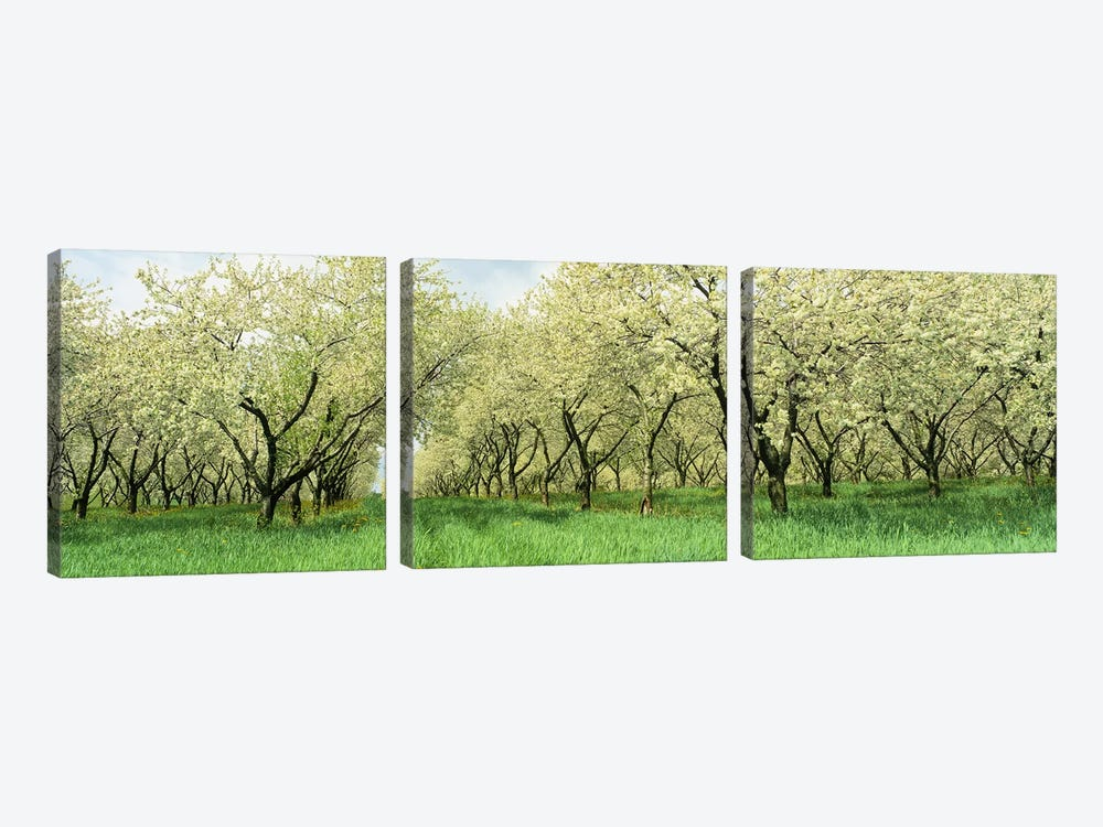 Rows of Cherry Tress In An OrchardMinnesota, USA by Panoramic Images 3-piece Canvas Wall Art