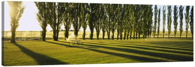 A Row Of Poplar Trees, Twin Falls, Idaho, USA Canvas Art Print