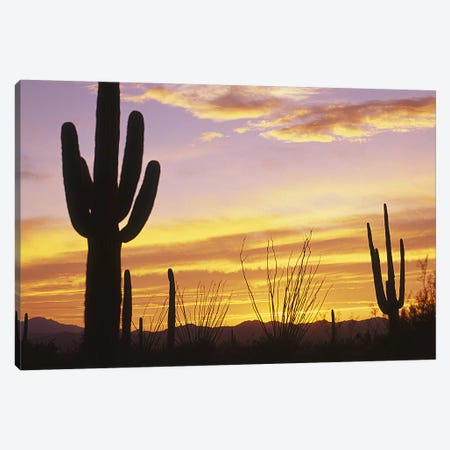 Sunset Saguaro Cactus Saguaro National Park AZ Canvas Print #PIM4157} by Panoramic Images Canvas Artwork