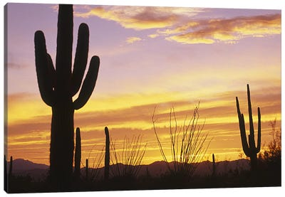 Sunset Saguaro Cactus Saguaro National Park AZ Canvas Print #PIM4157