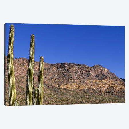 Organ Pipe Cactus AZ Canvas Print #PIM4159} by Panoramic Images Canvas Print