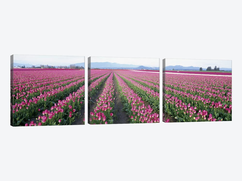 Tulip FieldsSkagit County, Washington State, USA by Panoramic Images 3-piece Canvas Artwork