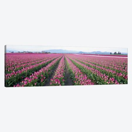 Tulip FieldsSkagit County, Washington State, USA Canvas Print #PIM4198} by Panoramic Images Canvas Art Print