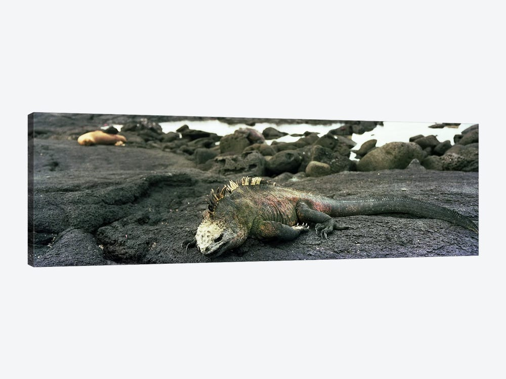 Marine Iguana Galapagos Islands by Panoramic Images 1-piece Canvas Artwork