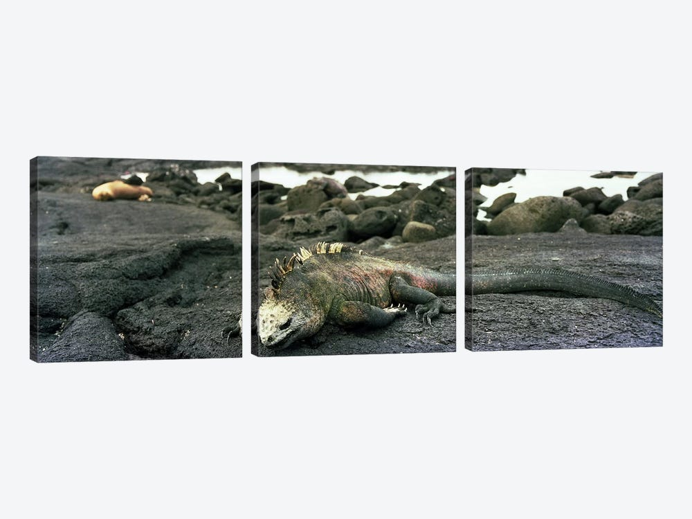 Marine Iguana Galapagos Islands by Panoramic Images 3-piece Canvas Art
