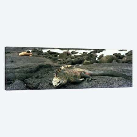 Marine Iguana Galapagos Islands Canvas Print #PIM4218} by Panoramic Images Canvas Art