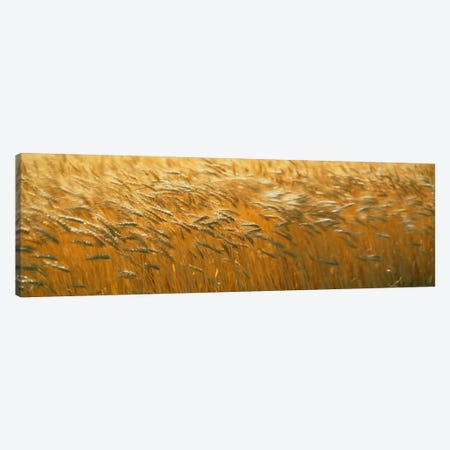 Spring Wheat Canvas Print #PIM429} by Panoramic Images Canvas Artwork