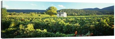 Vineyard Provence France Canvas Print #PIM4303