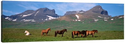 Horses Standing And Grazing In A Meadow, Borgarfjordur, Iceland Canvas Art Print