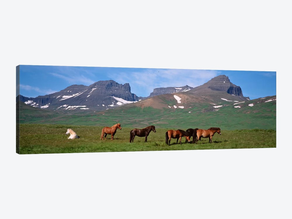 Horses Standing And Grazing In A Meadow, Borgarfjordur, Iceland by Panoramic Images 1-piece Art Print