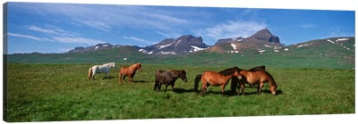 Horses Standing And Grazing In A Meadow, Borgarfjordur, Iceland #2 Canvas Print #PIM4539