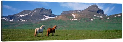 Horses Standing And Grazing In A Meadow, Borgarfjordur, Iceland #3 Canvas Art Print