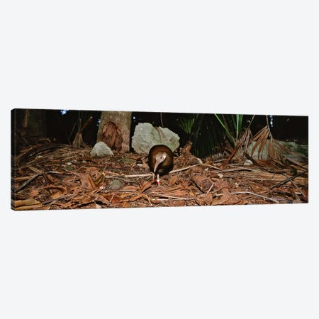 Lord Howe Woodhen Bird Standing Under The Tree, Lord Howe Island, Australia Canvas Print #PIM4545} by Panoramic Images Art Print