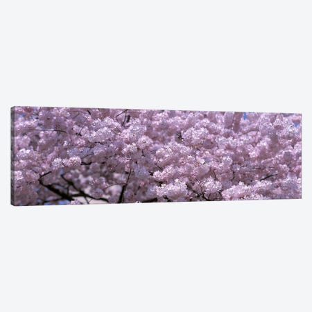 USA, Washington DC, Close-up of cherry blossoms Canvas Print #PIM4564} by Panoramic Images Art Print