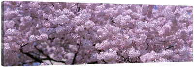 USA, Washington DC, Close-up of cherry blossoms Canvas Art Print